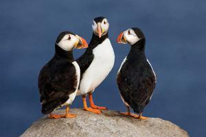 Three Puffins on Rock by Howard Ruby