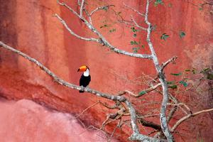 Tucan and a Red Wall by Howard Ruby