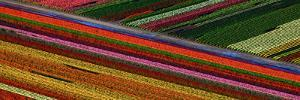 Tulips by Howard Ruby