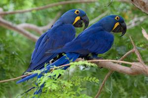 Two Hyacinth Macaws by Howard Ruby