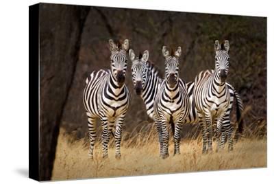Zebras Looking