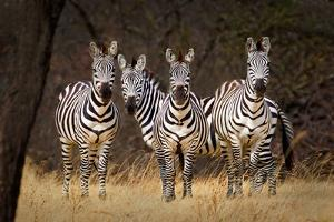 Zebras Looking by Howard Ruby