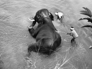 Elephant Belonging to Temple of the Tooth, Getting Mid Day Bath in River by Howard Sochurek