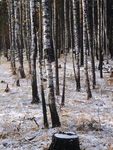 Russian Look of the Land Essay: Birch Trees in a Forest by Howard Sochurek