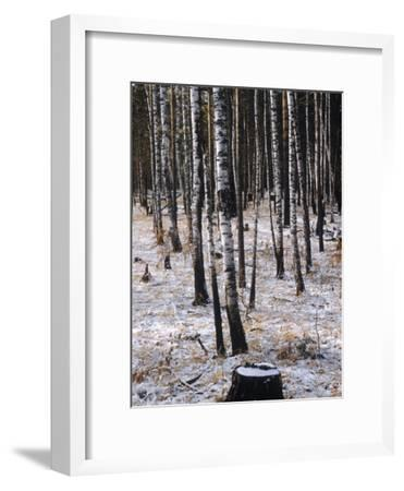 Russian Look of the Land Essay: Birch Trees in a Forest