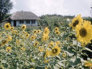 Russian Look of the Land Essay: Field of Blooming Sunflowers on Farm by Howard Sochurek
