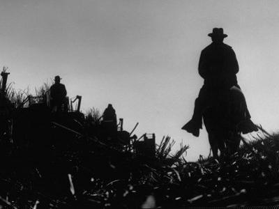 Workmen Harvesting Sugar Cane in a Field
