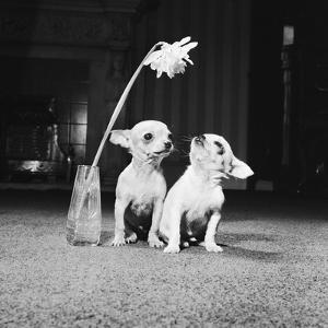 Two Pups Looking at a Flower in a Vase, 1962 by Howard Walker