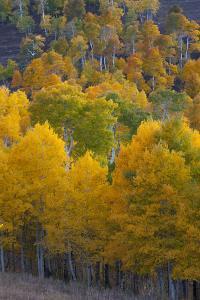 Aspen Trees, Mount Nebo Scenic Loop, Utah by Howie Garber