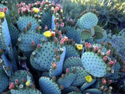 Beavertail Cactus, Desert Botanical Gardens, Phoenix, Arizona, USA