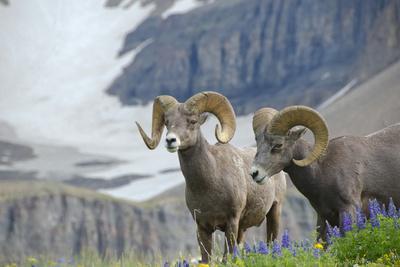 Big Horn Rams in the Wildflowers, Mount Timpanogos, Utah