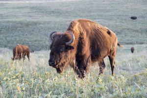 Buffalo in Custer State Park by Howie Garber