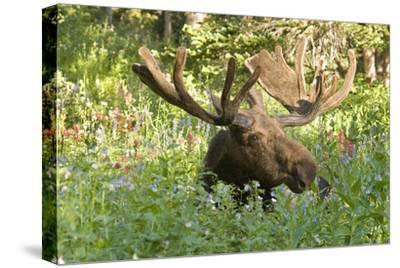 Bull Moose Bedded Down in Wildflowers, Wasatch-Cache Nf, Utah