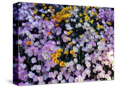 California Poppy and Mexican Primrose, Utah, USA
