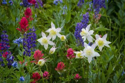 Columbine, Indian Paintbrush, Bluebells, and Lupine, Utah