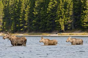 Cow Moose and Calves, Fishercap Lake, Glacier National Park, Montana by Howie Garber
