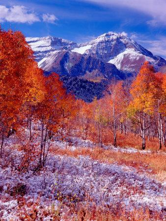Fall Aspen Trees and Early Snow, Timpanogos, Wasatch Mountains, Utah, USA