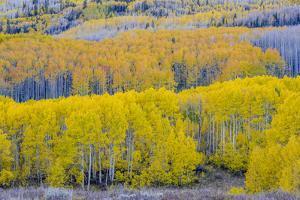 Fall Aspen Trees Near Guardsman's Pass Near Park City, Utah by Howie Garber