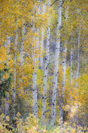 Fall Snowstorm, Aspen Trees, Grand Teton National Park