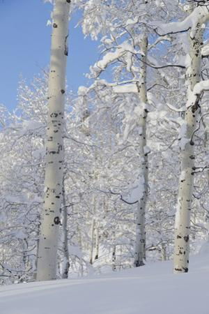 Fresh Snow, Big Cottonwood Canyon, Uinta Wasatch Cache Nf, Utah by Howie Garber