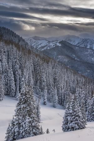 Fresh Snow in Evergreens, Wasatch Mountains, Uinta-Wasatch-Cache, Utah