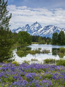 Lupine Flowers with the Teton Mountains in the Background by Howie Garber