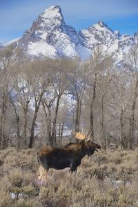 Moose in Field, Grand Teton, Teton Mountains, Grand Teton NP, WYoming by Howie Garber