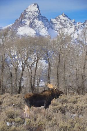 Moose in Field, Grand Teton, Teton Mountains, Grand Teton NP, WYoming