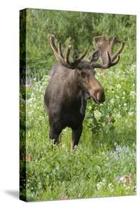 Moose in Wildflowers, Little Cottonwood Canyon, Wasatch-Cache NF, Utah by Howie Garber