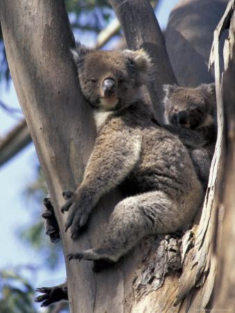 Mother and Baby Koala on Blue Gum, Kangaroo Island, Australia by Howie Garber