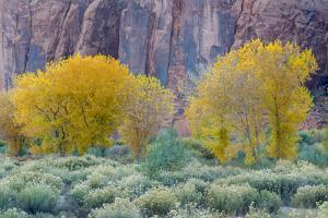 Rabbitbrush Outside of Moab, Utah by Howie Garber
