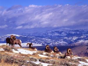Six Bighorn Rams, Whiskey Mountain, Wyoming, USA by Howie Garber