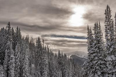 Snow in Evergreens from Beartrap Canyon, Wasatch Mountains, Utah