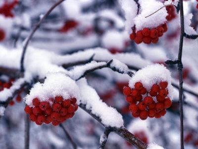 Snow on Mountain Ash Berries, Utah, USA