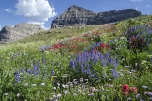 Sticky Aster and Indian Paintbrush, Mt. Timpanogas Wilderness Area by Howie Garber