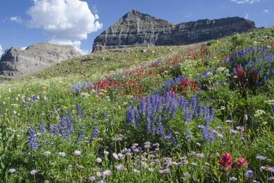 Sticky Aster and Indian Paintbrush, Mt. Timpanogas Wilderness Area