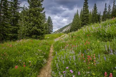 Wildflowers in the Albion Basin, Uinta Wasatch Cache Mountains, Utah
