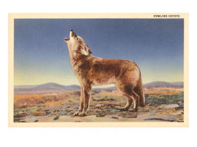 Howling Coyote--Stretched Canvas Print