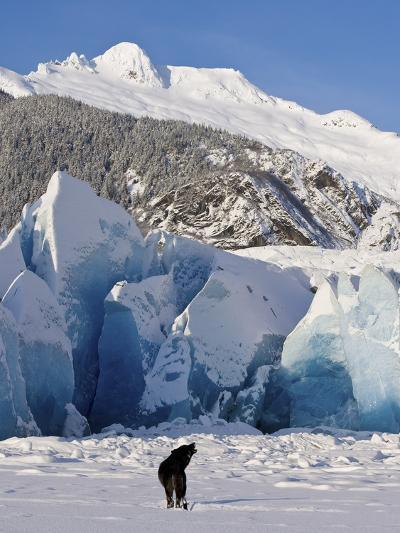 Howling on a Winter Afternoon a Black Wolf Calls Pack at the Face of Mendenhall Glacier-Design Pics Inc-Photographic Print