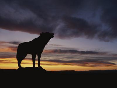 Howling Wolf Silhouetted against Sunset Sky-Norbert Rosing-Photographic Print