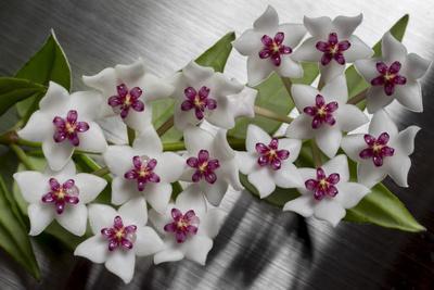 https://imgc.artprintimages.com/img/print/hoya-flower_u-l-q1asegv0.jpg?p=0