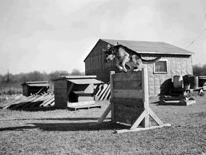 Dog Jumping a Hurdle, 1943 by HRPE