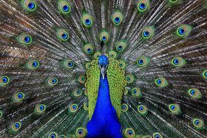 Male Peacock by HSR