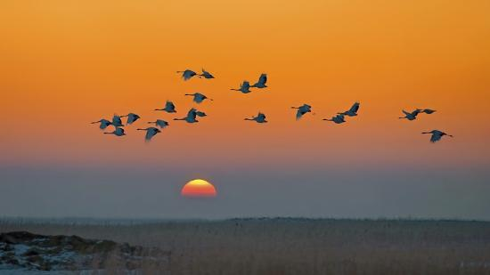 hua-zhu-red-crowned-crane