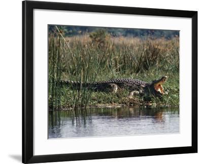 Huge Nile Crocodiles Bask on the Banks of the Victoria Nile Below Murchison Falls-Nigel Pavitt-Framed Photographic Print