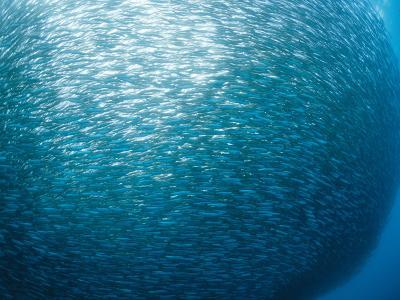 Huge School of Anchovies Photographed off the Coast of Argentina-Nick Caloyianis-Photographic Print