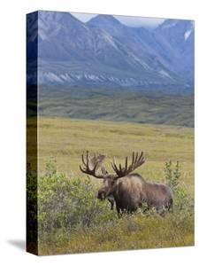 Bull Moose, Denali National Park, Alaska, USA by Hugh Rose