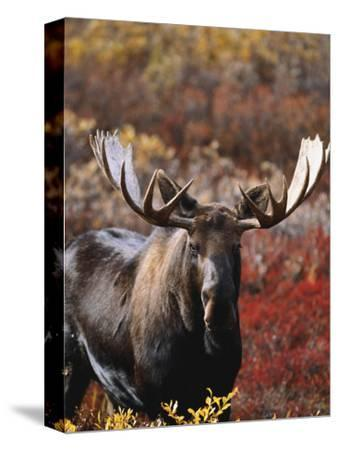 Bull Moose in Tundra, Denali National Park, Alaska, USA