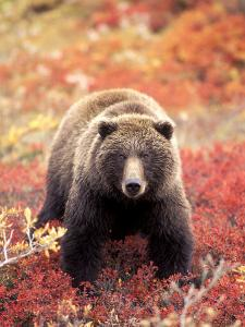 Female Grizzly Bear Foraging Red Alpine Blueberries, Denali National Park, Alaska, USA by Hugh Rose