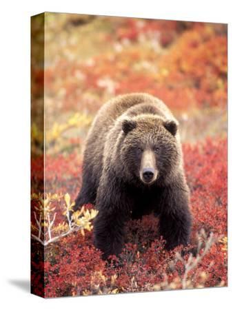Female Grizzly Bear Foraging Red Alpine Blueberries, Denali National Park, Alaska, USA